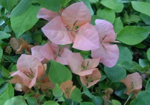 13-Rosa-Preciosa