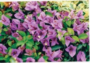 43-Carpet-Purple