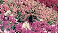 bougainvillea varieties