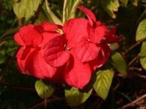 Mussaenda Double Red
