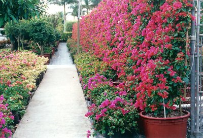 mixed bougainvillea sizes