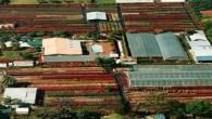 Bougainvilleas Nursery