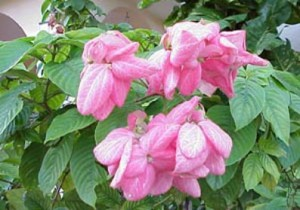 Mussaenda-Pink