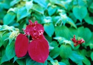 mussaenda red
