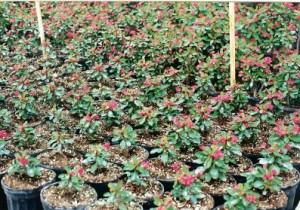 2Gl Euphorbia Milli rosi