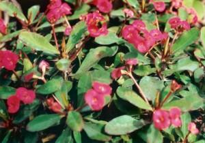 Euphorbia Milli Rosi