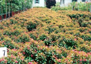 Euphorbia Milli Rosi1