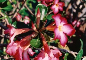desert-rose