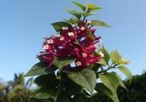 83-Sunvillea-Rose